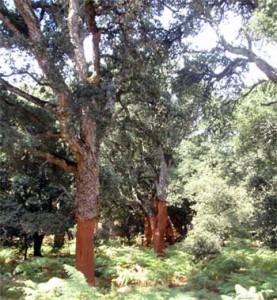 korkeichenwald-auf-der-fahrt-nach-bitti