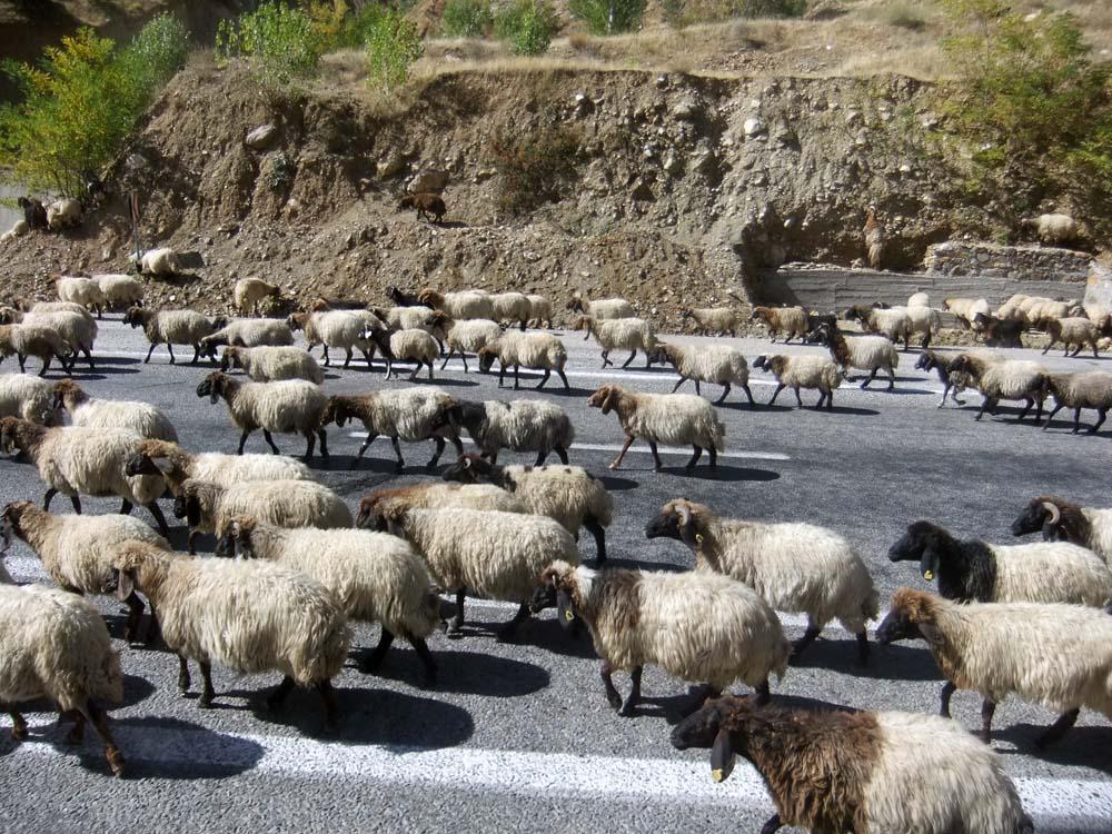 Eine Herde Fettschwanzschafe versperrt die Straße